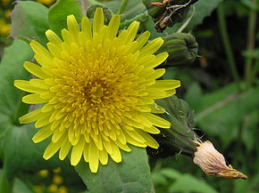 290px-Sow-thistle_1